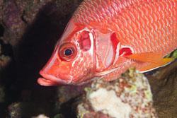 BD-120424-Marsa-Alam-6326-Sargocentron-spiniferum-(Forsskål.-1775)-[Sabre-squirrelfish.-Stortaggad-husar].jpg